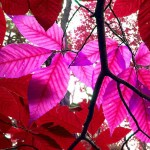 pink purple leaves