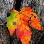 colorful fall-leaf-tree-bark