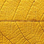 yellow leaf veins close up