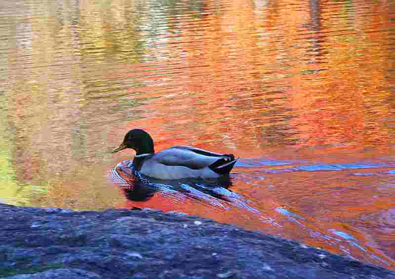 duck on lake in fall