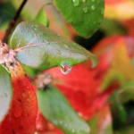 red-green-leaves-water-drops