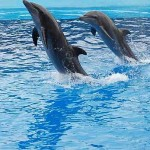 three dolphins jumping