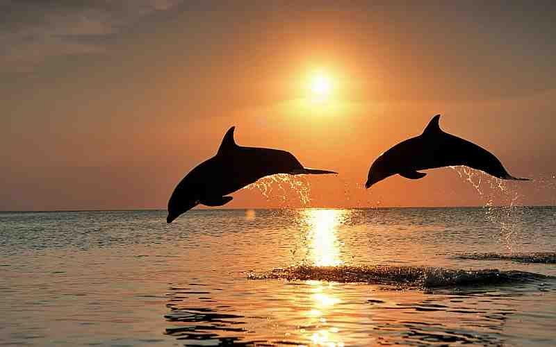 two dolphins jumping sunrise