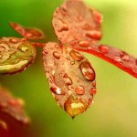 water drops on red leaves