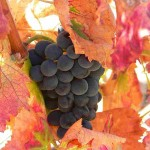 grapes fall leaves