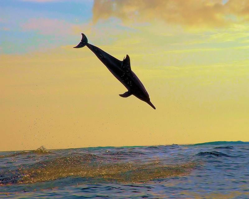 dolphin-diving-into-water