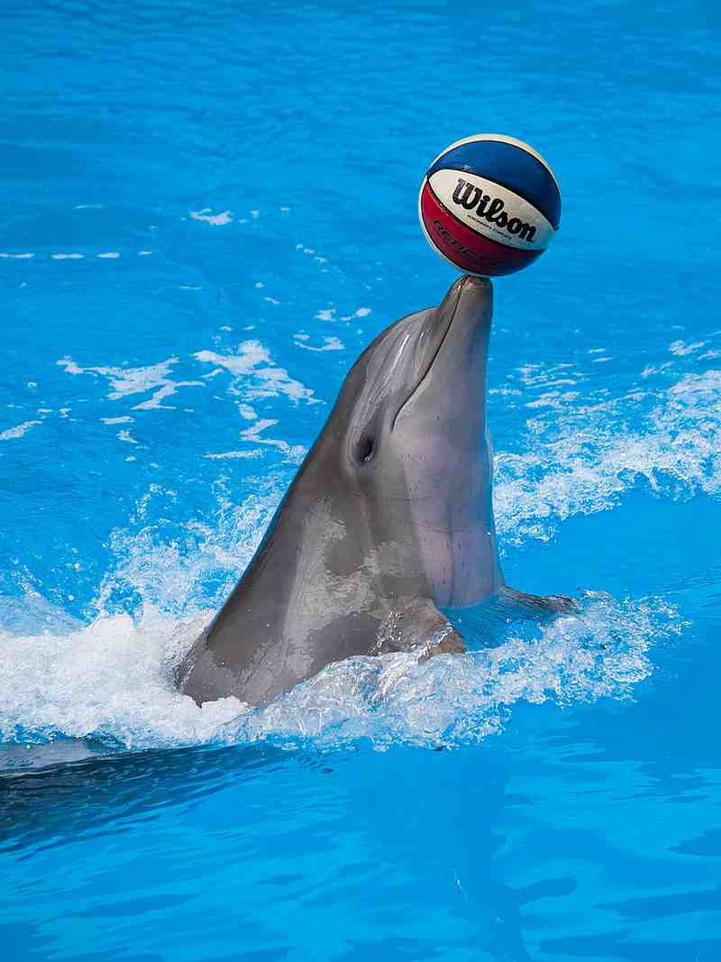 dolphin with basketball