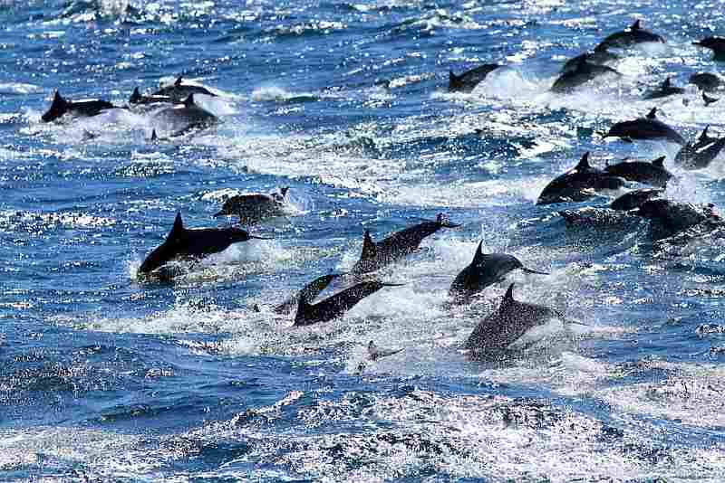 dolphins-jumping-swimming